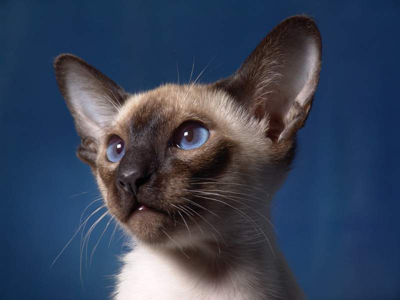 Cats Siamese cat names